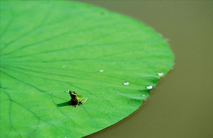 Красивые фотографии животных - Лягушка на листе кувшинки