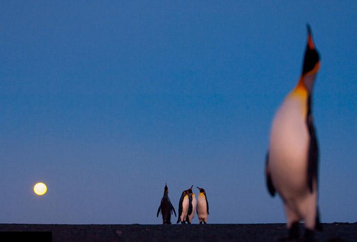 Красивые фотографии животных - Королевские пингвины в лунном свете