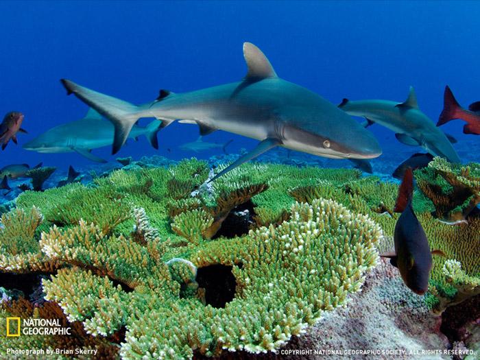 Красивые фотографии животных -  Серые акулы, риф Кингмен