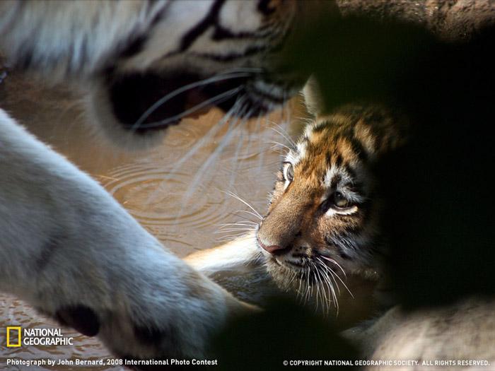 Красивые фотографии животных - Тигрёнок