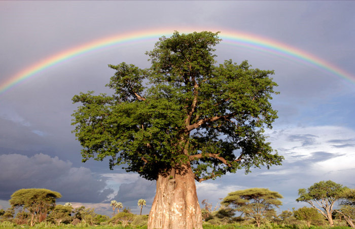 Красивые фотографии природы - Радуга над деревом баобаб